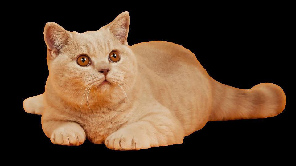 Стерилизация кошек Тюмени